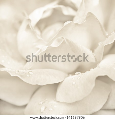 Abstract macro shot of beautiful cream rose flower with water drops. Floral background with soft selective focus, shallow depth of field - stock photo