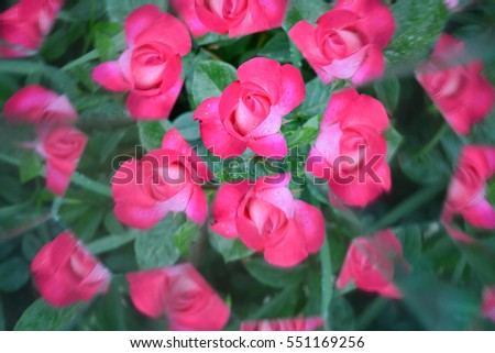 Abstract natural background, roses, kaleidoscope effect