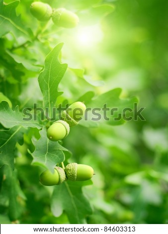 Abstract nature background - green oak leaves and acorns, bright sun - stock photo