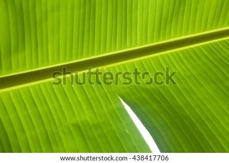 Abstract of banana leaf background