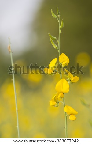 Abstract soft blurred and soft focus of Crotalaria juncea flower - stock photo