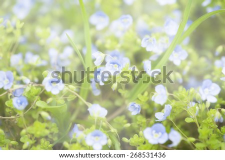 Abstract soft tender pastel floral background from forget-me-not  flowers blossoming in spring time - stock photo