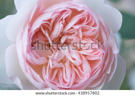 Abstract Texture of Soft Pink Rose Blooming in a Garden - stock photo