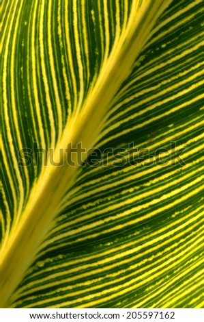 Abstract view of backlit green leaf showing detail of striped dark and light green lines emanating from spine