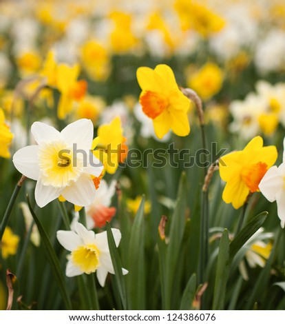 Abundance of daffodils growing on a flowerbed in springtime - stock photo