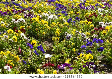 abundance of pansies - stock photo
