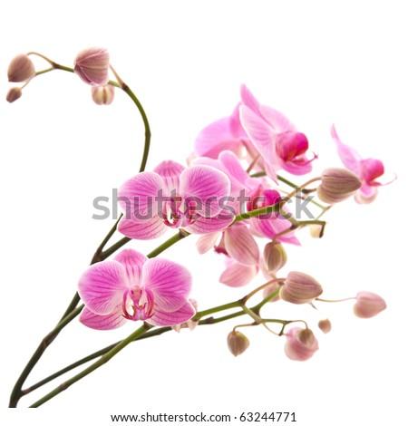 abundant flowering of pink stripy phalaenopsis orchid isolated on white - stock photo