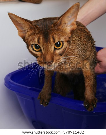 Abyssinian cat bathing, looking sad - stock photo