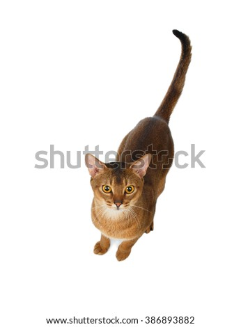 Abyssinian Cat before jumping, Top view, isolated on White background - stock photo