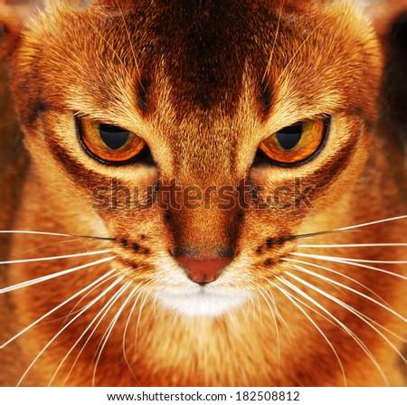 Abyssinian cat closeup - stock photo