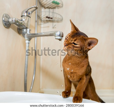 Abyssinian cat drinks water from the tap - stock photo