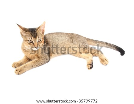 Abyssinian cat isolated on white background