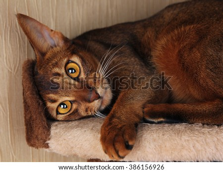 Abyssinian cat lying in cat house - stock photo