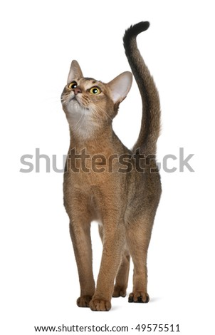 Abyssinian cat, 11 months old, standing and looking up in front of white background - stock photo