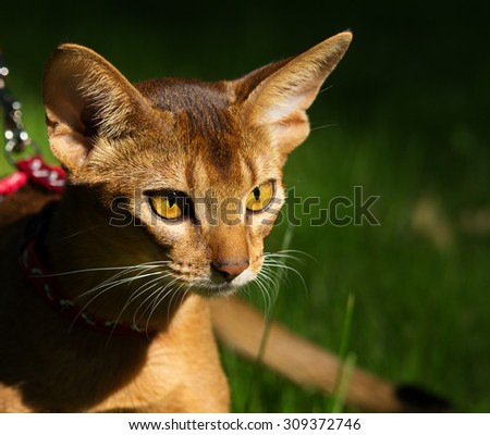 Abyssinian cat outdoors - stock photo