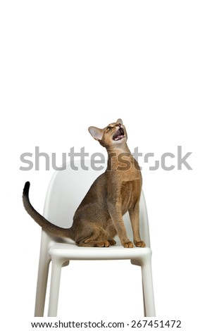 Abyssinian cat sits and cries on a chair isolated on white background - stock photo