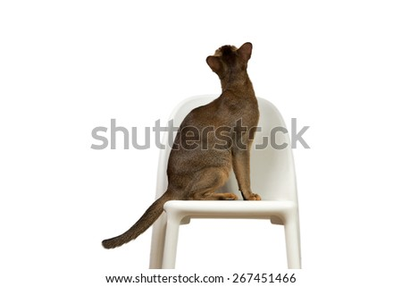Abyssinian cat sits on a chair with his back isolated on white background - stock photo