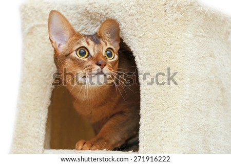 Abyssinian cat sitting in a cat's house. - stock photo