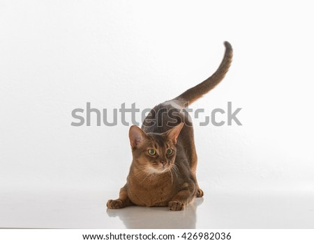 Abyssinian cat sitting on white background. White background with reflection. Tail is up - stock photo