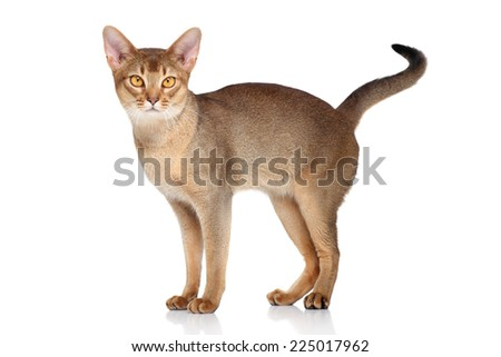 Abyssinian cat, standing on a white background