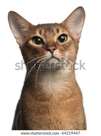 Abyssinian Cat, 1 year old, in front of white background - stock photo