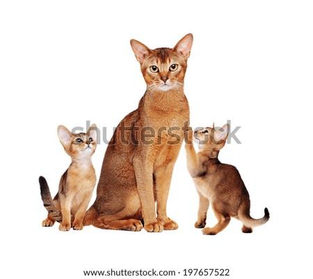 Abyssinian cats family - stock photo