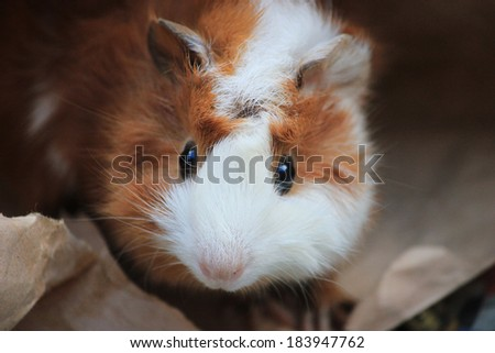 Abyssinian Guinea Pig hiding inside brown paper bag - stock photo