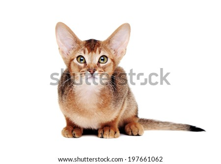 abyssinian kitten   lying on the floor looking up closeup portrait
