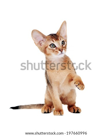 abyssinian kitten   showing his paw