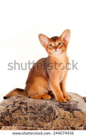 Abyssinian kitten sits on pillow and looking at camera full body portrait - stock photo