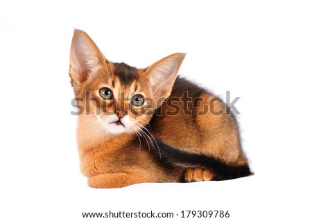 Abyssinian kitten two month  liyng portrait isolated on white