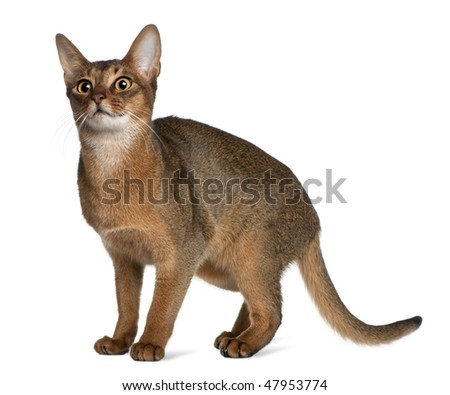 Abyssinian (9 months old) in front of a white background