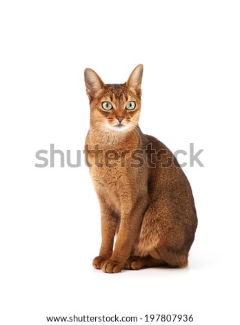 abyssinian young cat isolated on white - stock photo