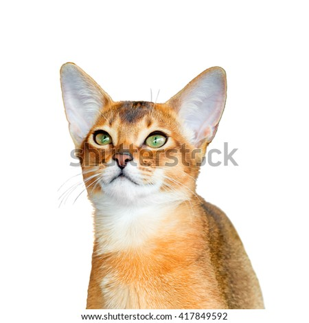 Abyssinian young cat isolated on white background - stock photo