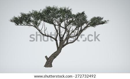 acacia isoated - stock photo