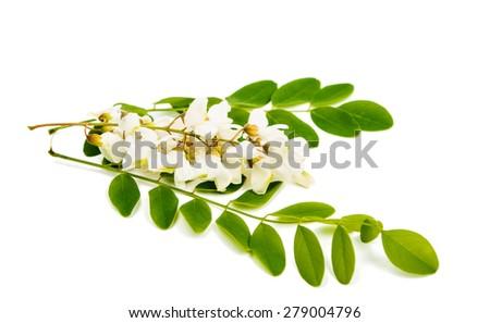 Acacia on a white background - stock photo