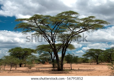 Acacia tree - stock photo