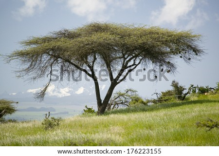Acacia tree and green grass of Lewa Conservancy with Mnt. Kenya in background, North Kenya, Africa