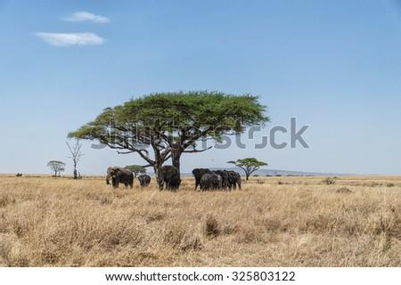 Acacia tree on Serengeti Plain, Tanzania with herd of elephant - stock photo