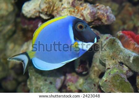 "Acanthurus Leucosternon, ""Surgeon"" -Tropical fish, underwater life of the exotic seas - stock photo"
