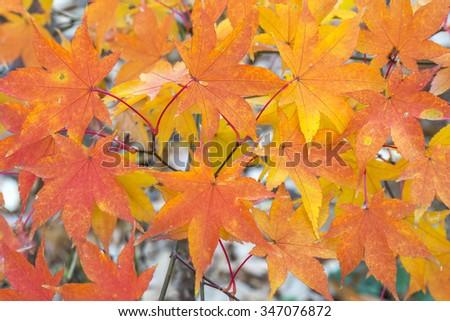 Acer palmatum, called Japanese Maple or Smooth Japanese Maple  - stock photo