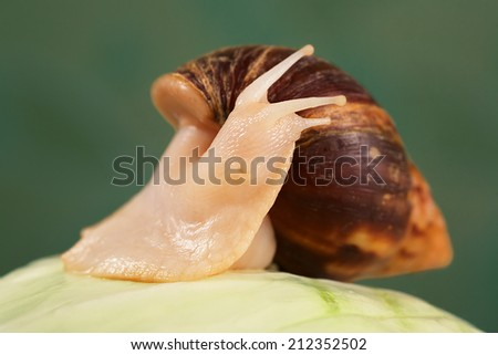 Achatina/Giant snail is on cabbages. Close-up - stock photo