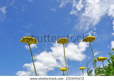 Achillea millefolium - stock photo