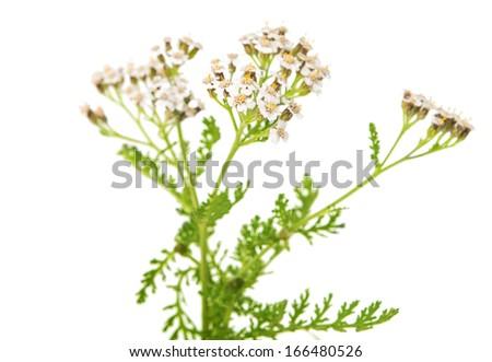 Achillea millefolium flower isolated on white background - stock photo