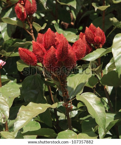 achiote, urucu or anatto (Bixa orellana), bio diversity of peru and south america - stock photo