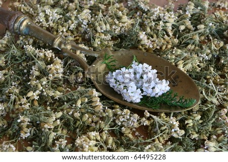Achollea Millefolium - stock photo