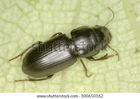 Acinopus sp. beetle in natural habitat - stock photo