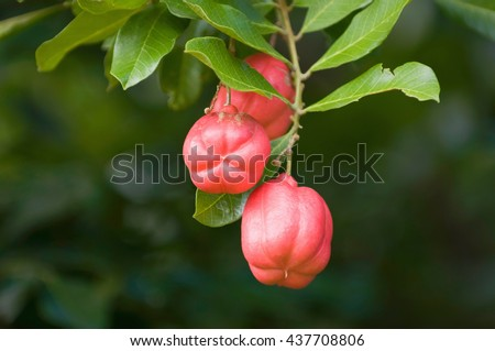 Ackee - National fruit of Jamaica. Considered highly poisonous, yet can be a delicious meal if prepared properly. Selective focus, lots of copy space, ProPhoto RGB. - stock photo