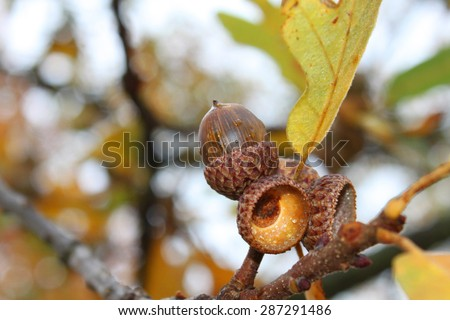 Acorn on a tree - stock photo