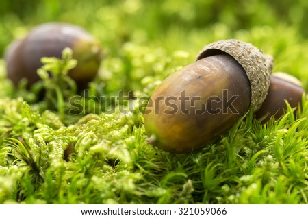 Acorn on the moss ( macro photo) - stock photo